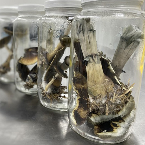<strong>Now Toronto</strong></br>Health care professionals okayed to use magic mushrooms for training in psilocybin therapy