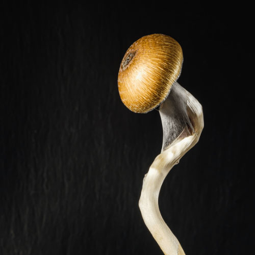 <strong>Cannabis Life Network</strong></br>End of psilocybin prohibition? Health Canada receives proposed regulations
